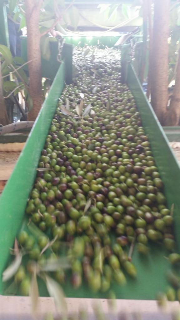 olive-frangitura