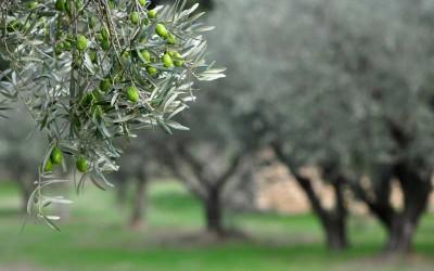 Monitoraggio maturazione delle olive