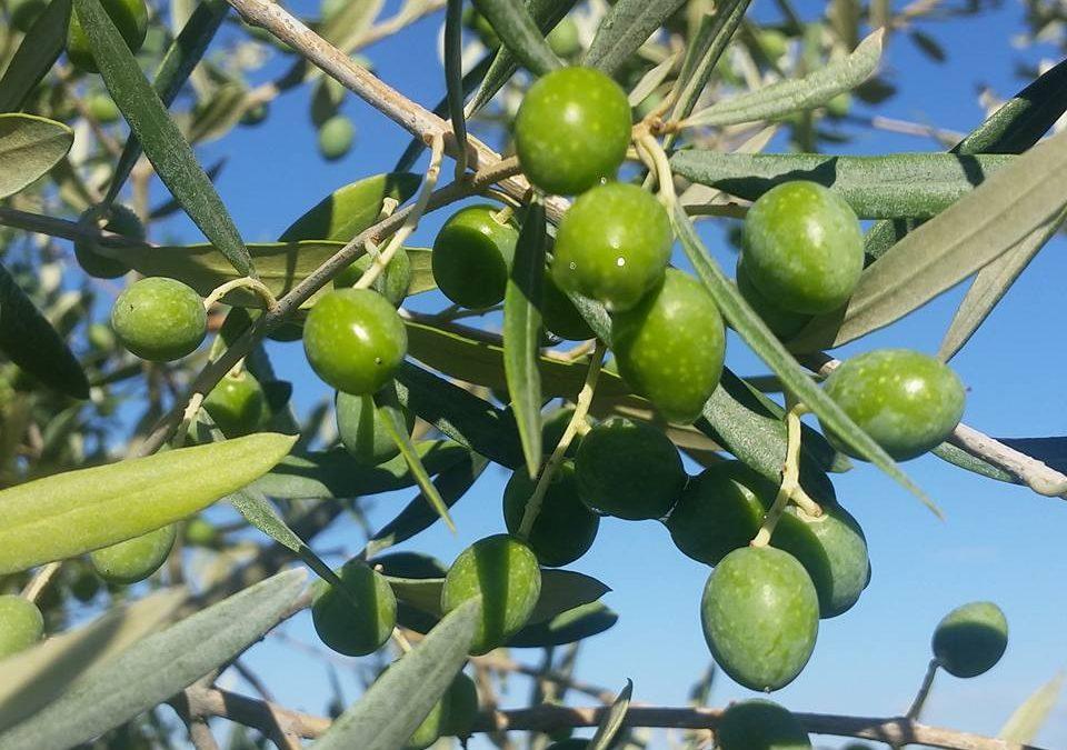 Perché è giusto lavare le olive prima della frangitura?